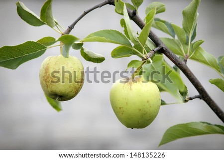 Two green apples on a brunch - stock photo