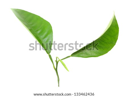 Two green leaf of citrus-tree on sprout. Isolated on white background. Close-up. Studio photography. - stock photo