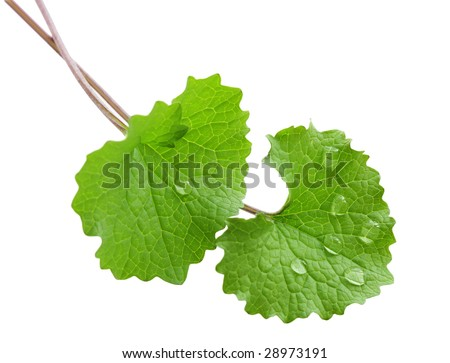 Two green leaves isolated on white background