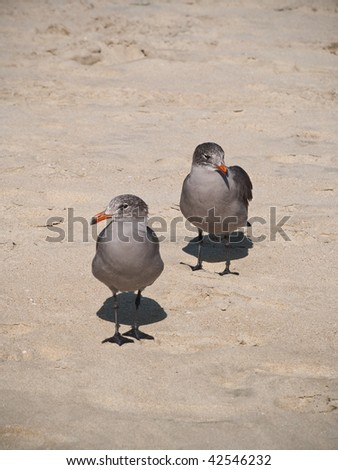 Two grey seagulls standing close to each other at a sand beach. - stock photo