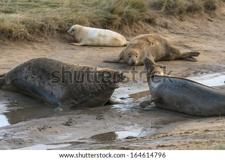 Two grey seal males (Halichoerus grypus) on the beach - stock photo