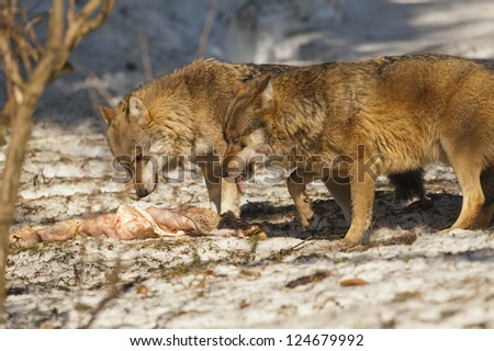 Two grey wolf isolated in the snow while eating - stock photo