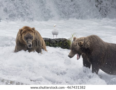 Two Grizzly or Brown Bears fighting over territory in the river