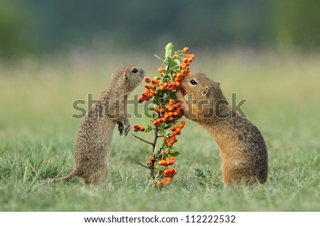 Two ground squirrels - stock photo