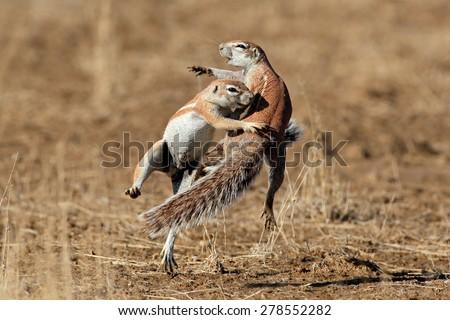 Two ground squirrels (Xerus inaurus) playing, Kalahari desert, South Africa - stock photo