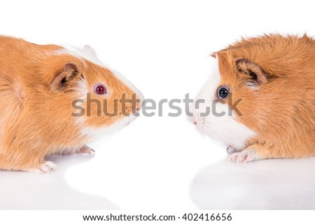 Two guinea pigs face to face isolated on white  - stock photo