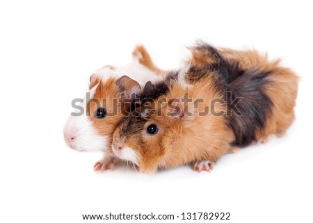 Two guinea pigs isolated on white background - stock photo