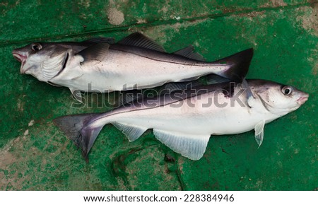 Two haddock on a green deck - stock photo
