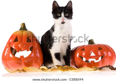 two halloween pumpkins and a cat