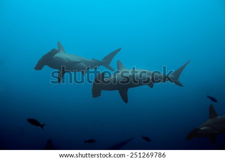 Two hammerhead sharks in the blue waters - stock photo