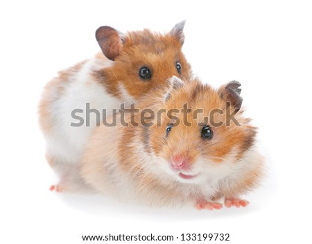 Two hamster closeup isolated on white - stock photo
