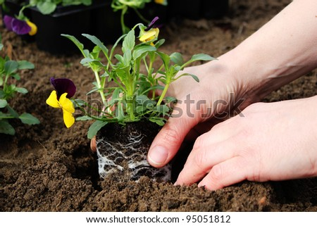 two hands are planting a flower/gardening/flower