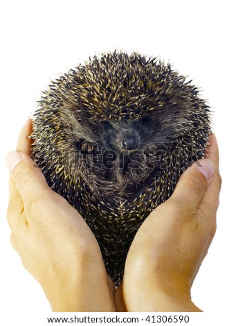 Two hands holding a hedgehog rolled in a ball. Isolated on white - stock photo