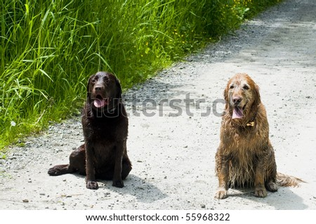 Two happy dogs, a Golden and Labrador Retriever, sitting together on a dirt road.
