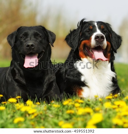 two happy dogs lie in the summer outdoors, his tongue hanging out from the heat - stock photo