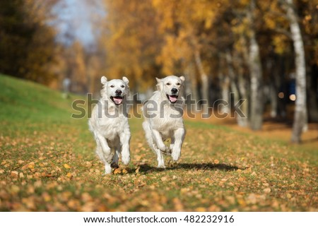 two happy golden retriever dogs running in autumn