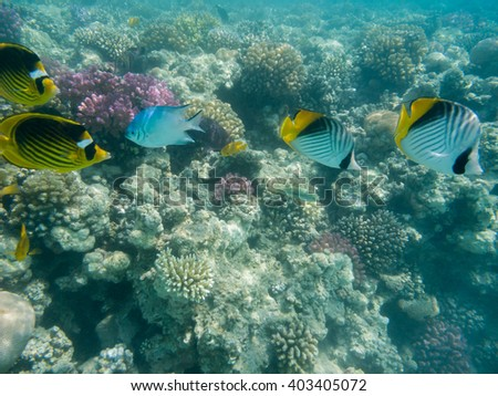 two harlequin butterflyfish and two tobacco butterflyfish swimming in a coral reef - stock photo