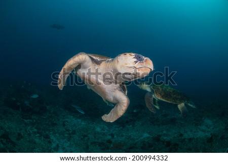 two hawksbill turtles underwater - stock photo