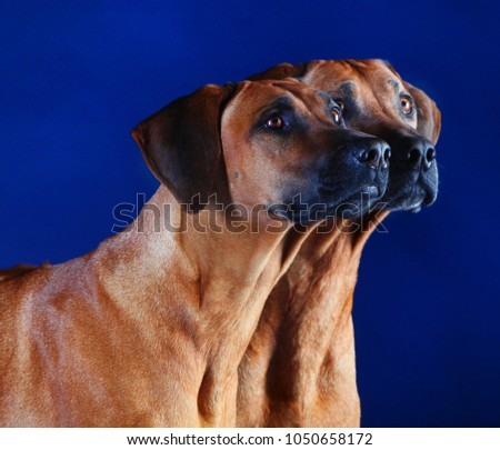 two heads of rhodesian ridgebacks, late, paying attention in a blue background