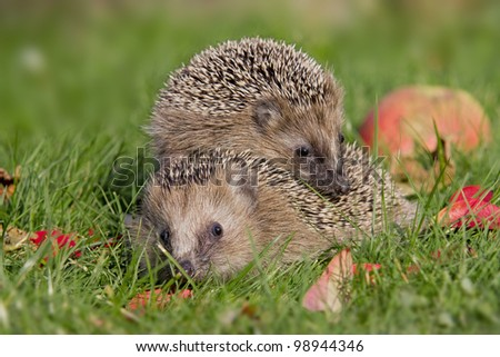 two hedgehogs - stock photo