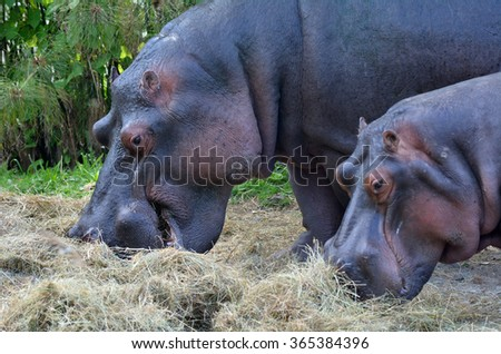 Two Hippopotamus (Hippopotamus amphibius) eat hay. The hippopotamus is a highly aggressive and unpredictable animal and is ranked among the most dangerous animals in Africa