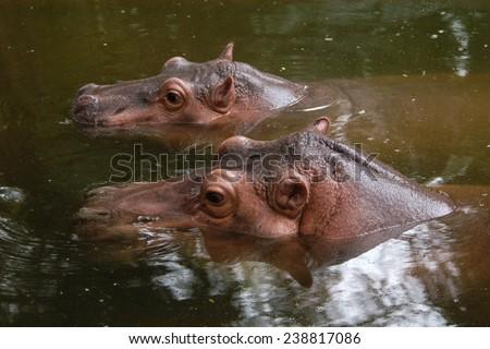 Two hippopotamuses (Hippopotamus amphibius).  - stock photo