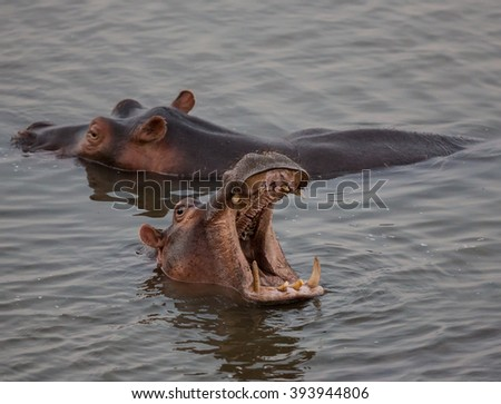 Two hippopotamuses (Hippopotamus amphibius) in the Luangwa River, South Luangwa National Park, Zambia, Africa. - stock photo
