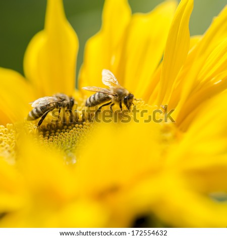 Two honey bees, Apis mellifera, foraging for nectar and pollen on a yellow sunflower, of importance in the production of honey as well as being critical to agriculture for the pollination of the crops - stock photo