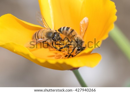 Two honey bees pollinating on yellow poppy flower. - stock photo