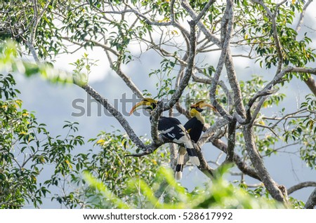 Two Hornbill relaxing on tree in Kao Yai National Park.Thailand