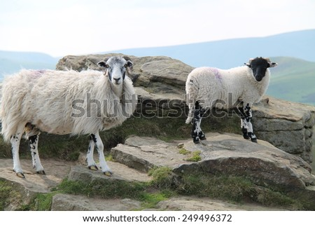 Two Horned Sheep Standing on a Mountain Top. - stock photo
