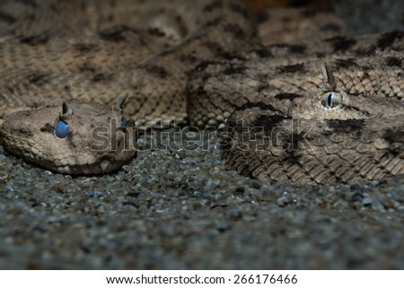 two horned vipers cerastes cerastes macro curled up in the sand looking at each other - stock photo