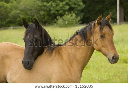 two horse buddies in a field - stock photo