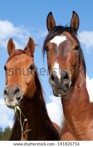 Two horse: Paint horse and Quarter horse posing on pasture - stock photo