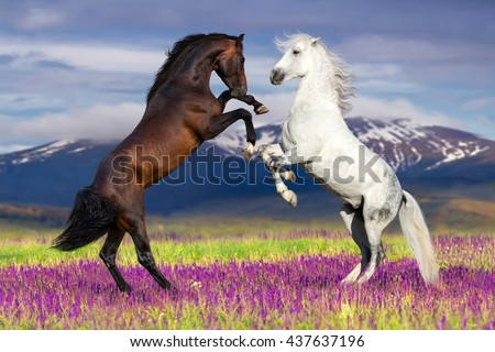 Two horse rearing up against mountain view in flower field - stock photo