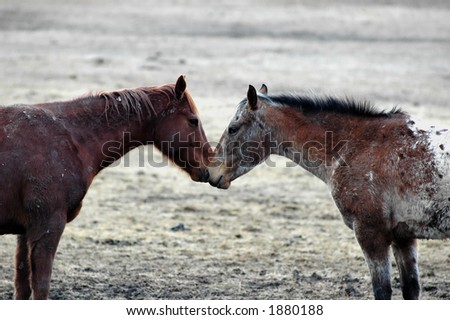 two horses; a bay and a painted, face to face in a moment of peace and love - stock photo