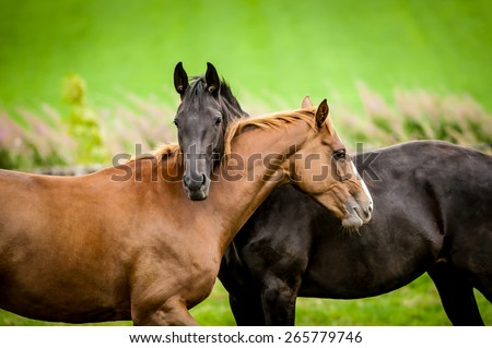 Two horses embracing in friendship. - stock photo
