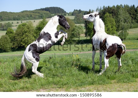 Two horses fighting - stock photo