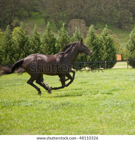 two horses galloping in a green field on a stud ranch - stock photo