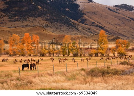 Two horses grazing along side a large herd of elk in Montana. - stock photo