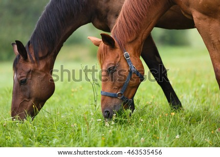 Two horses grazing in a meadow at summer time