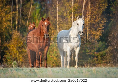 Two horses on the pasture in the morning in autumn - stock photo