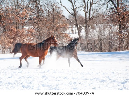 Two horses running in deep snow, playing, on a cold winter day - stock photo