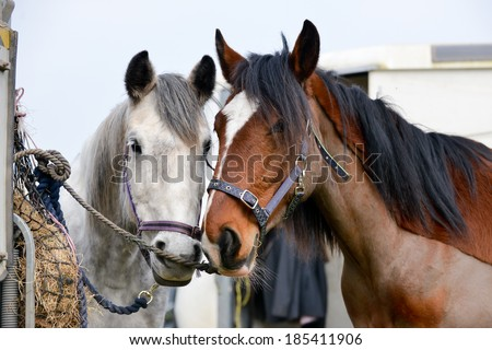 Two horses stand waiting patiently tied to a trailer for their owners to come and ride them. - stock photo