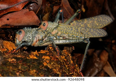 Two HUGE mating Grasshoppers in the Peruvian Amazon - stock photo