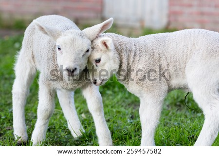 Two hugging and loving white lambs - stock photo