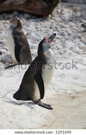 Two Humboldt Penguins