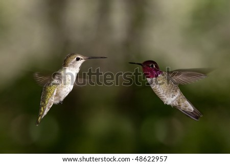 Two hummingbirds - stock photo