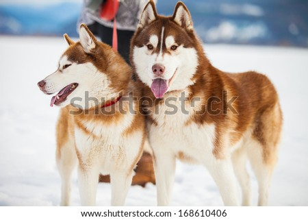 Two husky dogs closeup portrait - stock photo