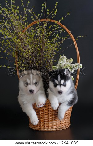 Two husky puppies in the basket - stock photo